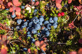 Tundra Blueberries — Stock Photo