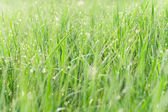 Green grass with water drops - nature concept — Stock Photo