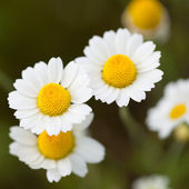 Wild cammolies - daisies - flower on green grass background - 1 to 1 ratio — Stock Photo