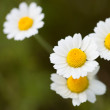 Wild cammolies - daisies - flower on green grass background - 1 to 1 ratio — Stock Photo #50636377
