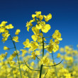 Oilseed Rape under a blue sky — Stock Photo