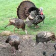 Male turkey and three females - Stock Photo