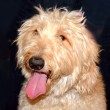 Stockfoto: Goldendoodle