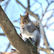 Squirrel — Stockfoto #37798845