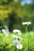 Daisies blooming — Stock Photo
