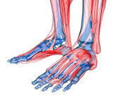 Anatomy of leg and foot — Stock Photo