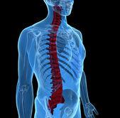 Human spine — Stock Photo