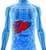 Anatomy of human liver in x-ray view — Stock Photo