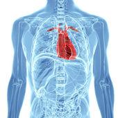 Anatomie lidského srdce — Stock fotografie