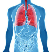 Anatomy of human lungs in x-ray view — Stock Photo