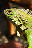Green Asian Reptile Iguana Close Up — Stock Photo