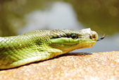 Green Mamba Snake With a Taped Mouth — Stock Photo