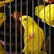 Caged Yellow Budgie Parrot Birds - Stockfoto