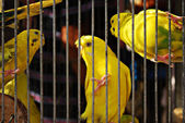 Caged Yellow Budgie Parrot Birds — Stock Photo