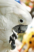 White Cockatoo Parrot Playing with a Stick — Stock Photo