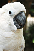 White Cockatoo Parrot — Stock Photo