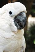 White Cockatoo Parrot — Stock Photo