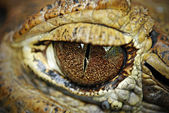 Close Up of a Staring Crocodile Eye — Stock Photo