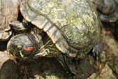 Red Eared Slider Tortoise Resting on a Rock — Foto Stock