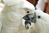 A Couple of Cute White Cockatoo Parrots — Stock Photo