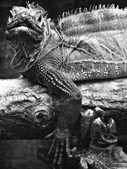 Iguana Reptile — Stock Photo