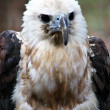 Stock Photo: Hawk Eagle Fierce Portrait