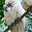Stock Photo: Couple of White Cockatoo Parrots