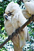 Couple of White Cockatoo Parrots — Stock Photo