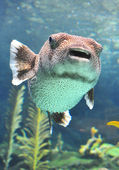 Puffer fish swimming in a water tank. — Stock Photo