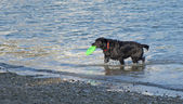 Black dog holding a green frisbee — Foto de Stock