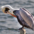 A scratching pelican — Stock Photo