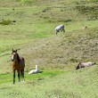 Horses in a field eating and resting — Stock Photo #45045467