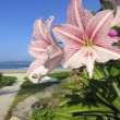 Flower Beach Beauty: White and Pink Flowers Close Up in Beach Landscape — Foto Stock