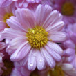 Close Up Picture of Flower with Wet Morning Dew on Petals — Stock Photo
