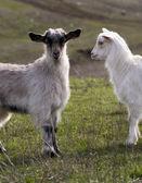 山羊 — 图库照片