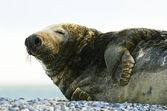 Gray seal on stony beach — Stock Photo
