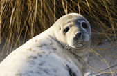 Young gray seal — Stock Photo