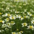 Field of chamomile - Stock Photo