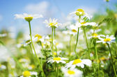 Field of Leucanthemum — Stock Photo