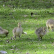 Goslings on green meadow. - Stock Photo