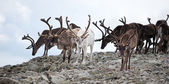 Herd of reindeers — Stockfoto