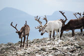 Reindeer Herd — Photo