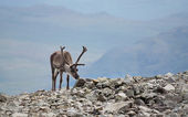 Reindeer view — Stock Photo