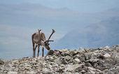 Vista de renas — Foto Stock