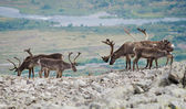 Reindeer mountain view — Stock Photo