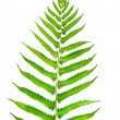 Fern — Stock Photo #28891467