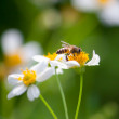Bee on flower — Stock Photo #28970185