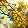 Young maple leaves in the sunlight — Stock Photo