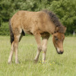 Little horse on a field — Stock Photo