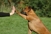 Dog pressing his paw against a woman hand — Stock Photo